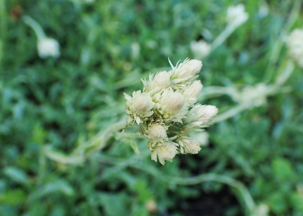 Antennaria neglecta