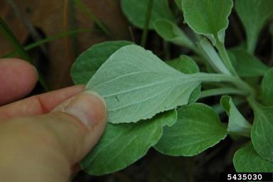 Antennaria plantaginifolia