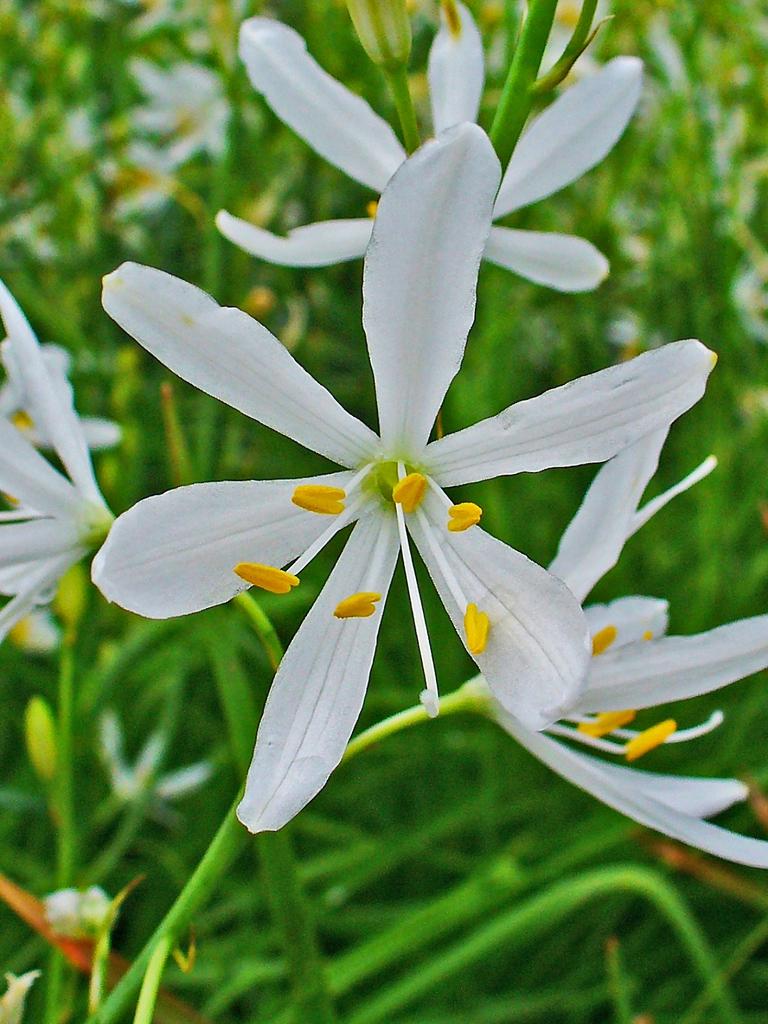 Anthericum liliago