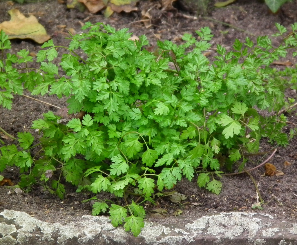 Chervil plant