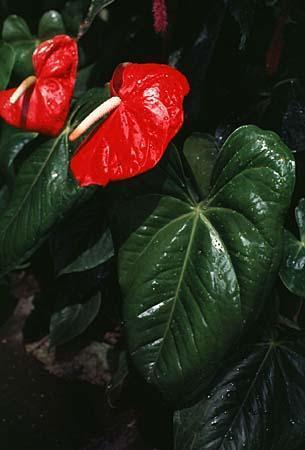 Photo of Anthurium spp.