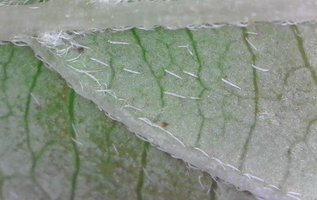 Appressed trichomes on leaf underside (Hydrangea paniculata)