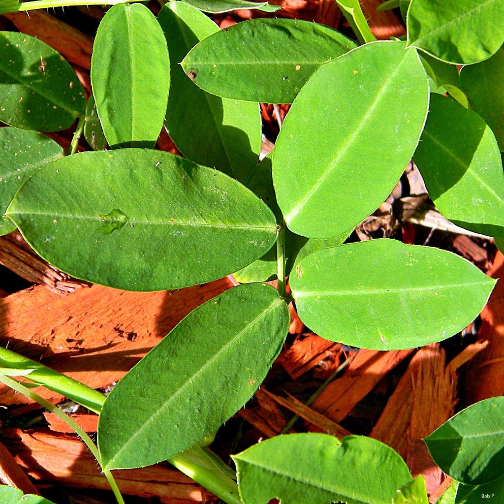 Arachis hypogaea