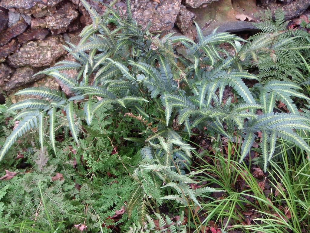 Arachniodes simplicior 'Variegata' - large plant