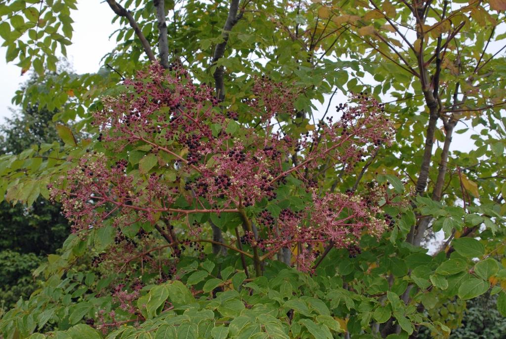 Aralia spinosa - inflorescence