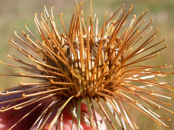 Spent flowers that dry out and form burrs.