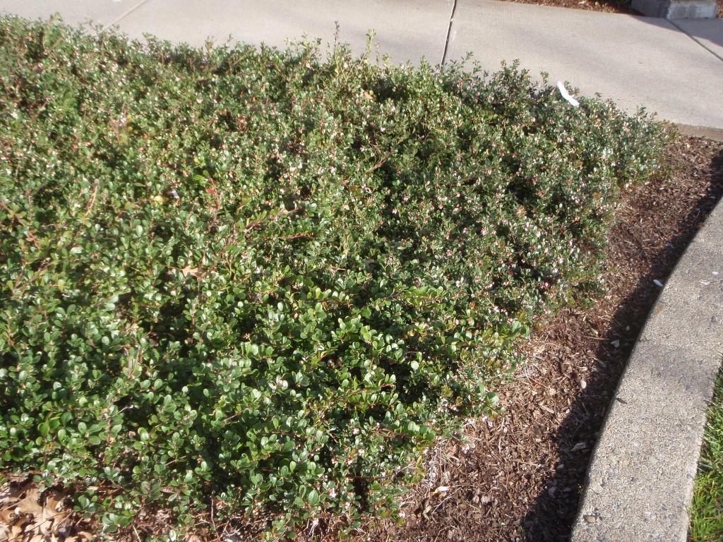 Arctistaphylos uvaursi - hedge plant