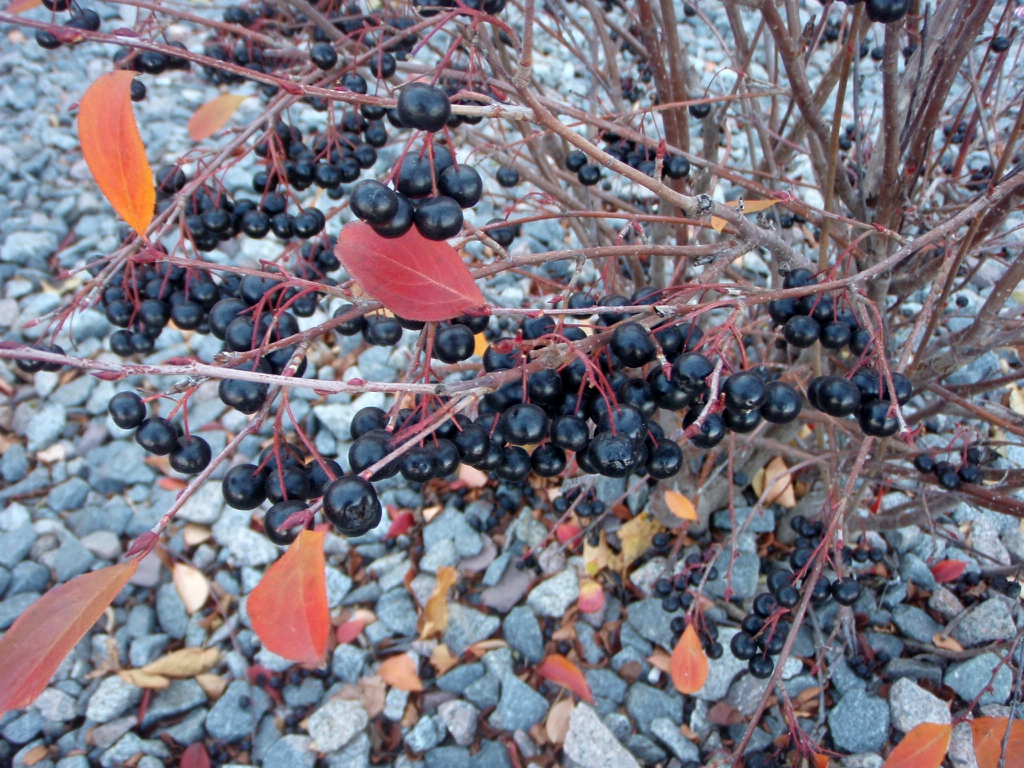 Aronia melanocarpa - berries and fall color