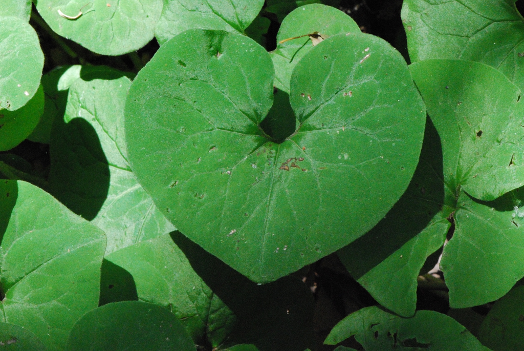 Heart or arrow-shaped leaf blade