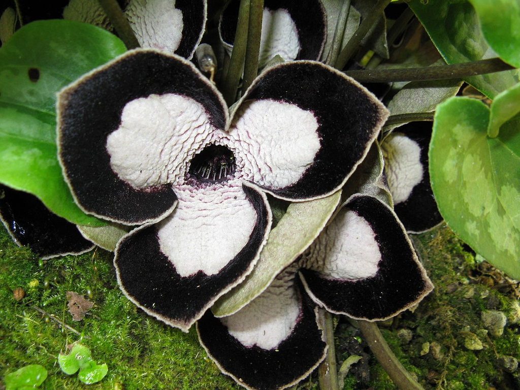 Asarum spp.