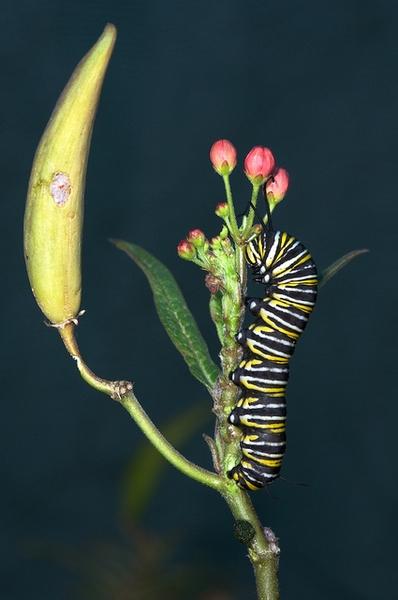 Asclepias curassavica