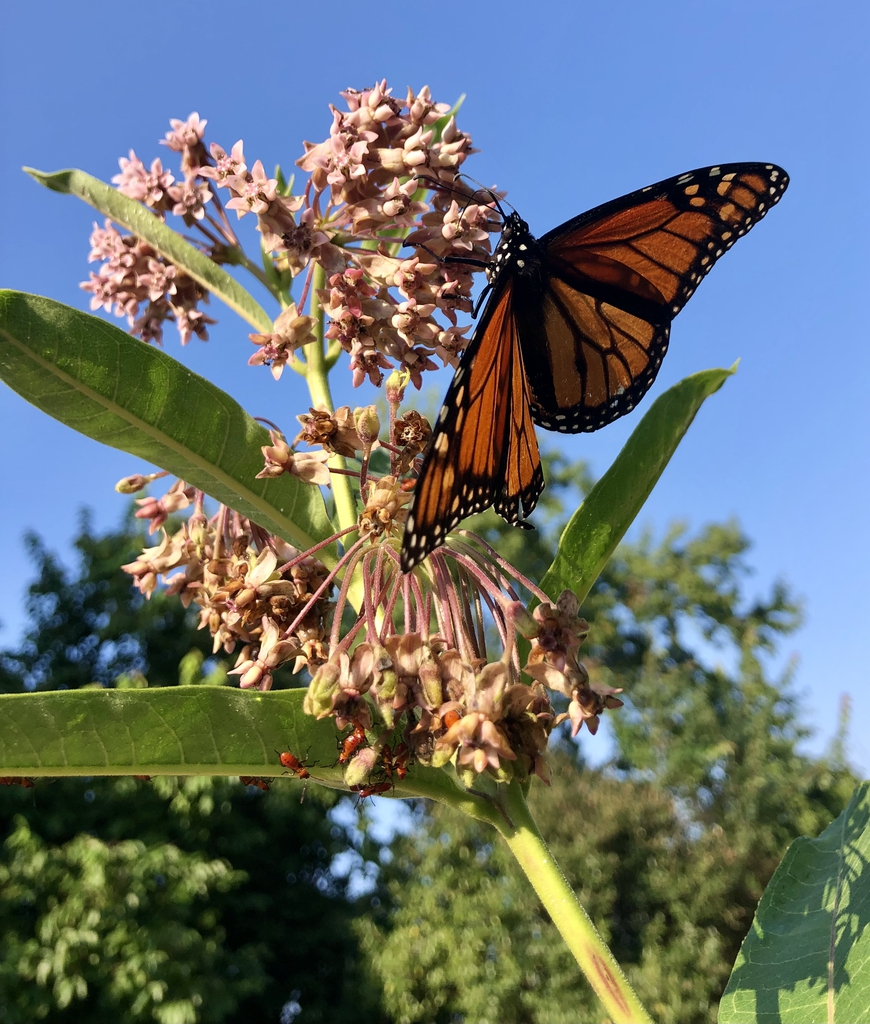 Monarch, leaves, flowers & Stem - Aug 8, Wake Co., NC