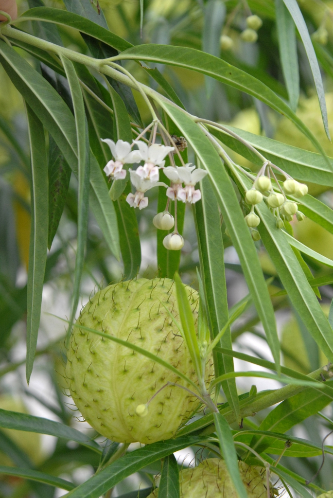 Asclepias physocarpa - flowers and fruit
