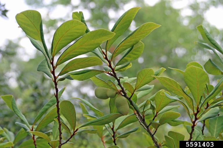 Underside of leaf and fruit