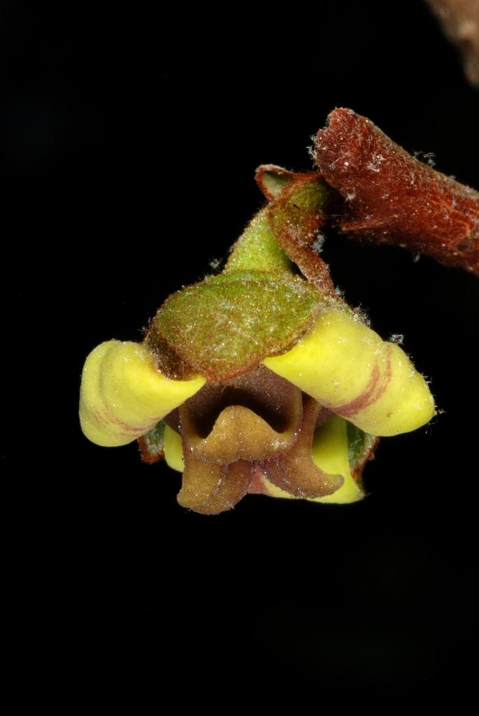 6-petal brownish-purple flower (Wake County, NC)-Late Spring