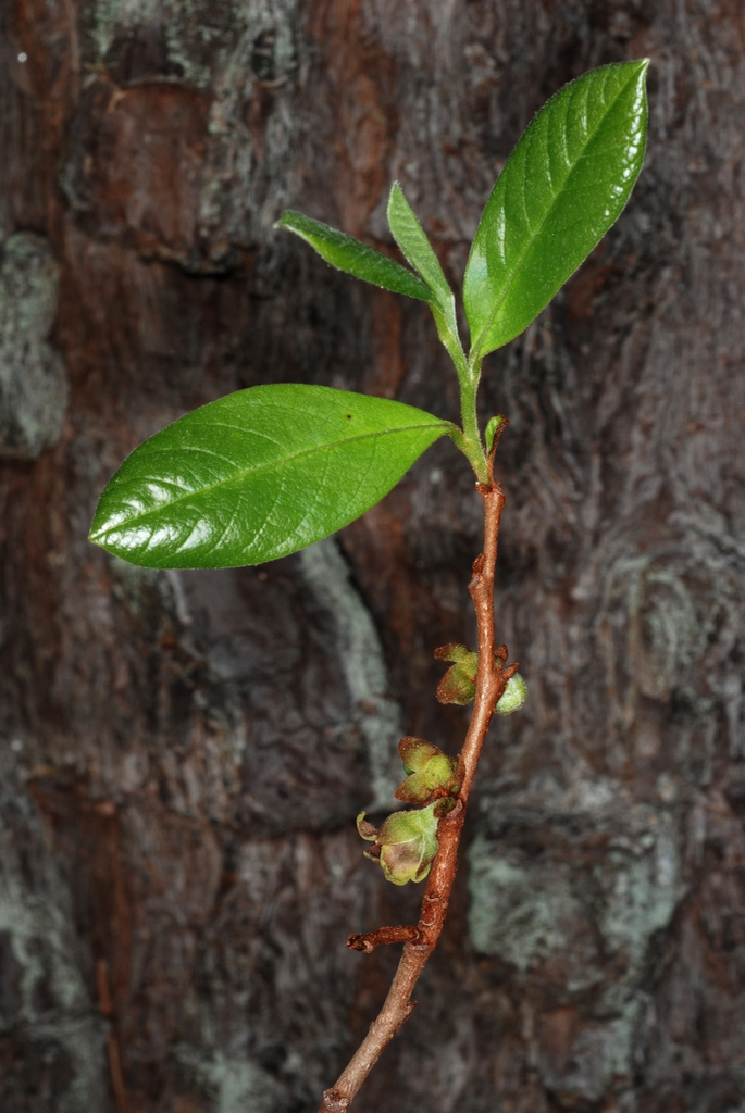 Reddish branch and leaves (Wake County, NC)-Late Spring