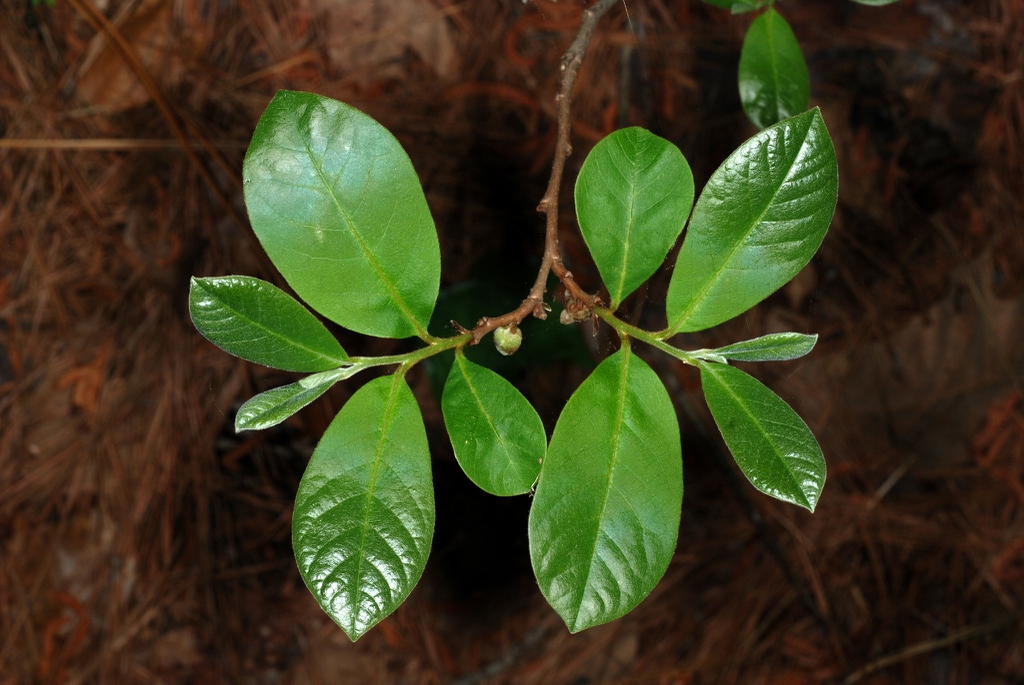 Alternate green leaves (Wake County, NC)-Late Spring