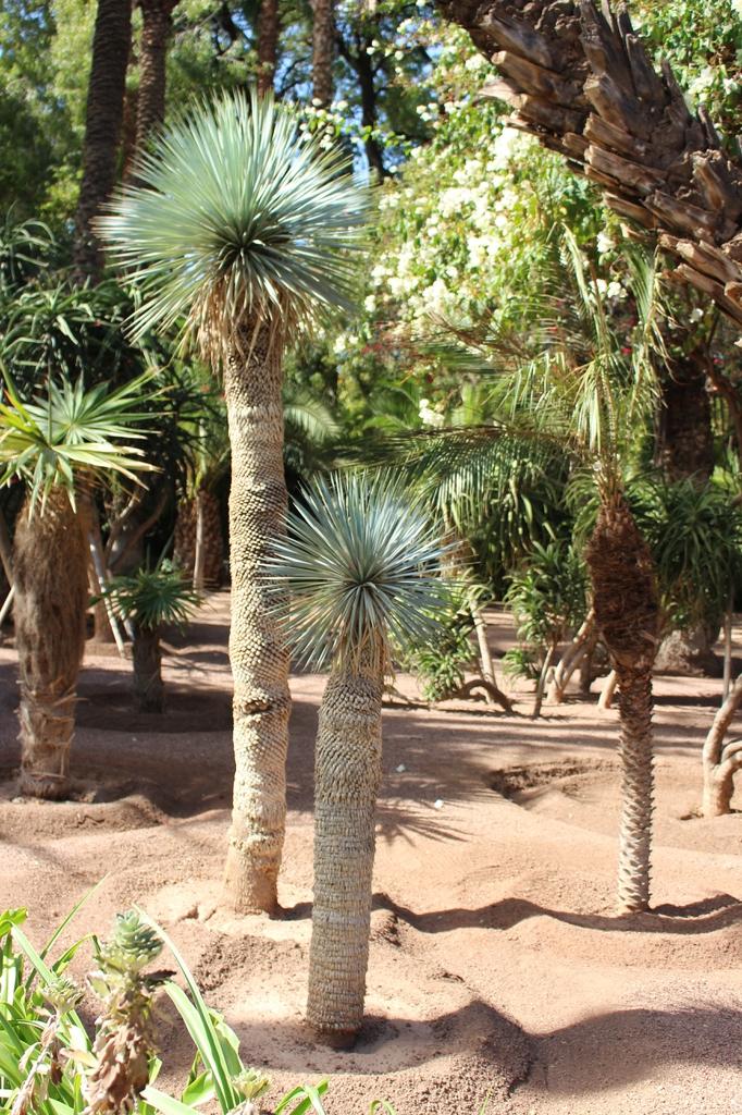Asparagales Yucca rostrata