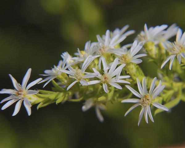 Aster ericoides