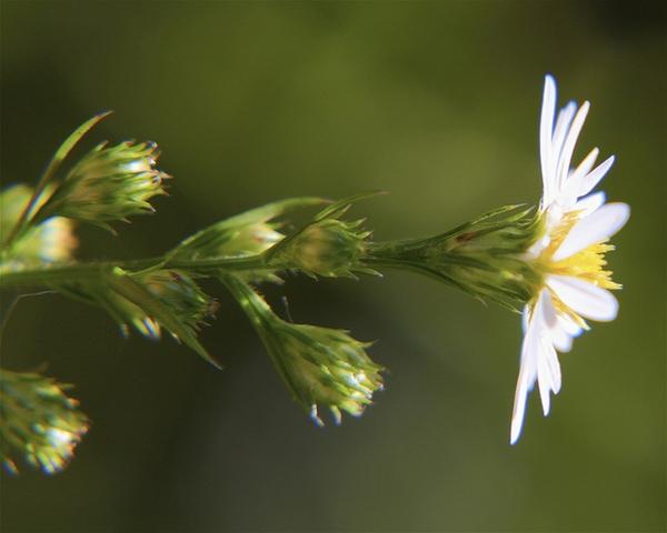 Aster pilosus