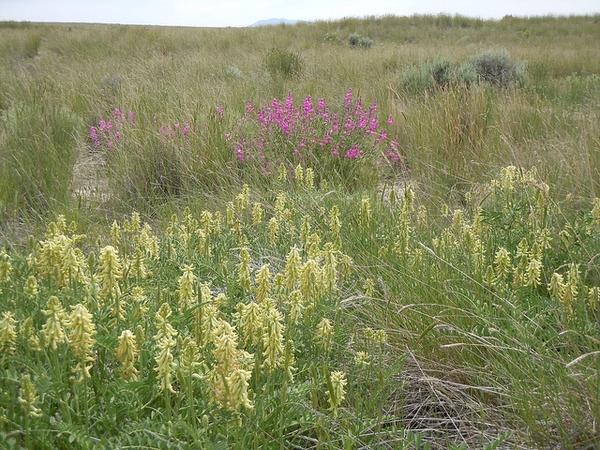 Astragalus canadensis