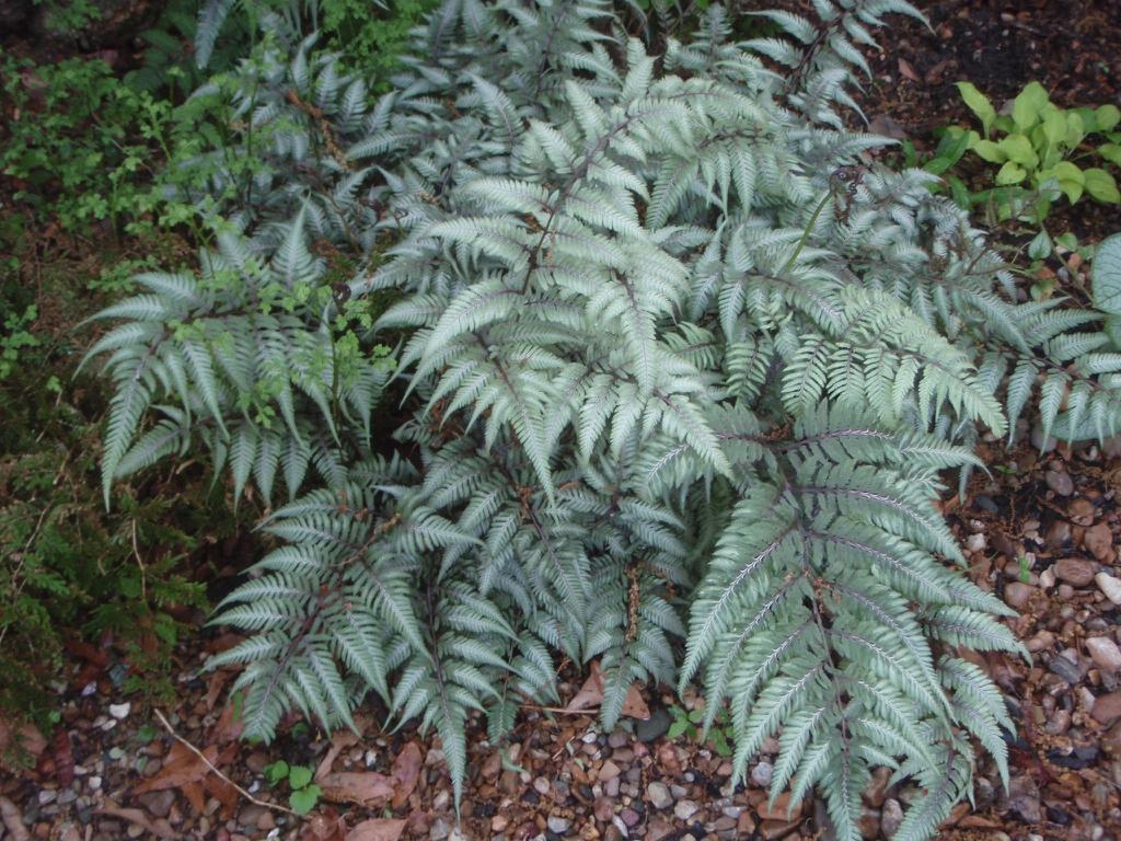 Athyrium niponicum var. 'Pictum' - full plant large img