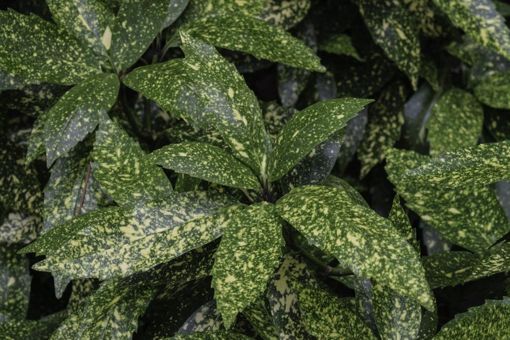 Aucuba japonia leaves