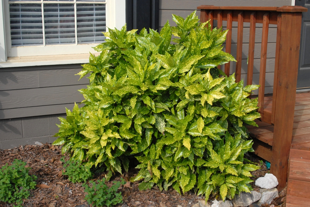 Aucuba japonica 'Variegata' Form