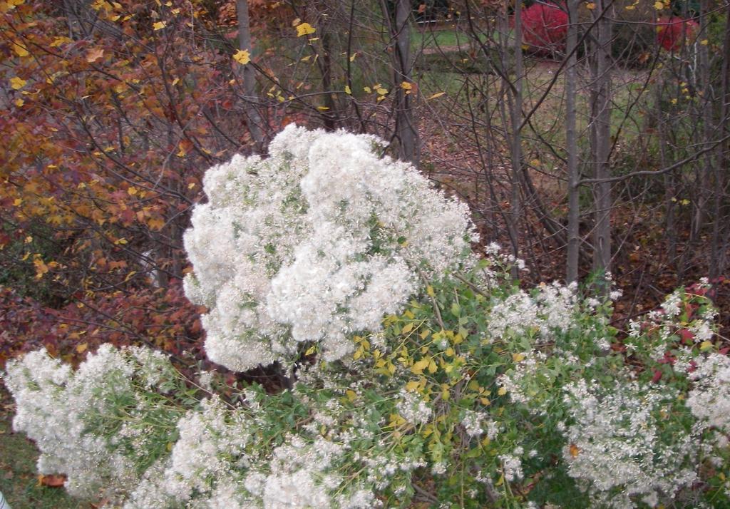 Baccharis halimifolia's bush form in Wake Forest, NC