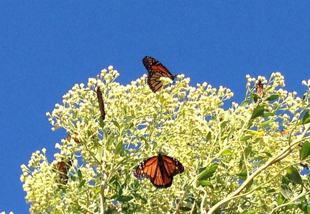 Baccharis halimifolia with monarchs