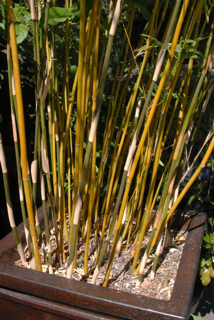 Bambusa multipex