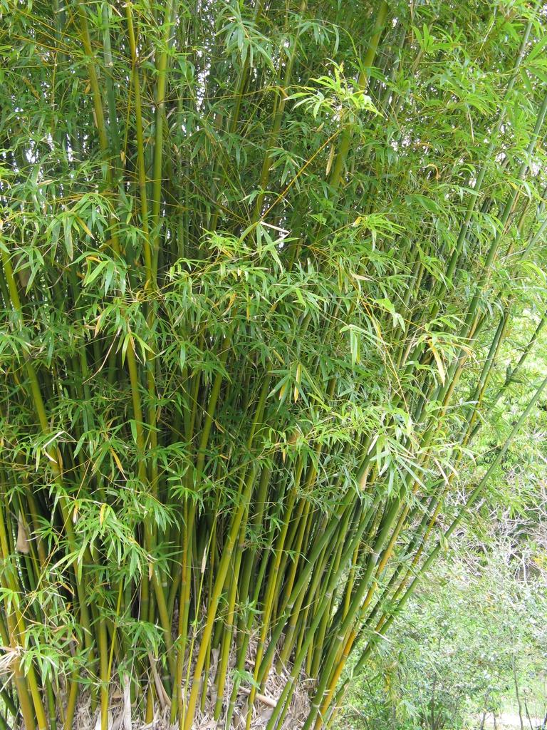 Bambusa multiplex dense form