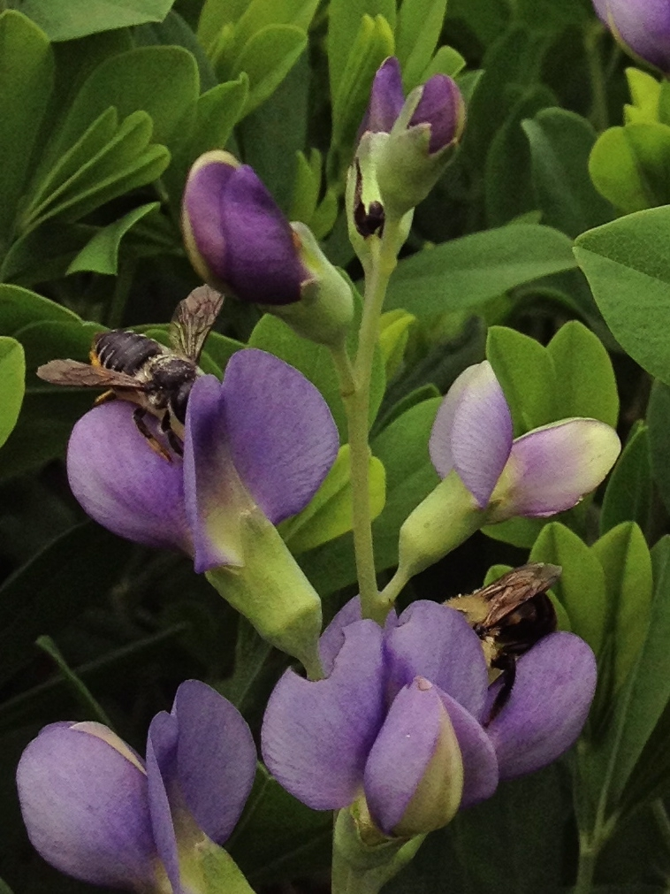 Baptisia australis flower with pollinators