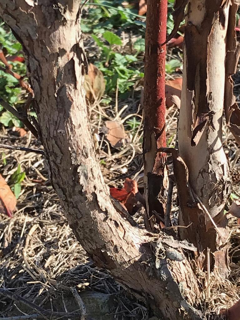 Bark of a 2 year old shrub