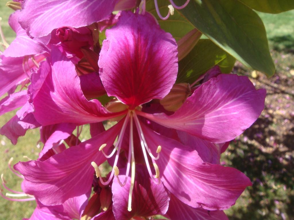 Bauhinia x blakeana flower