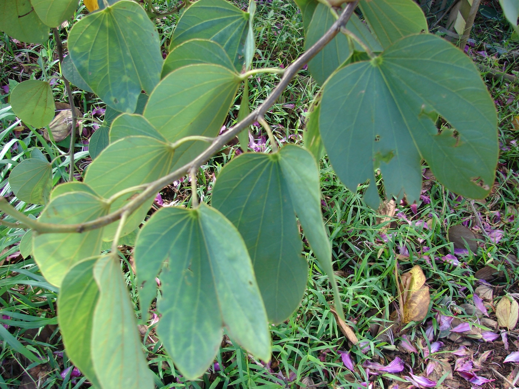 Bauhinia x blakeana leaves