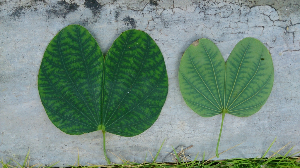 Bauhinia x blakeana leaf