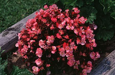 Begonia semperflorens-cultorum, B. x tuberhybrida