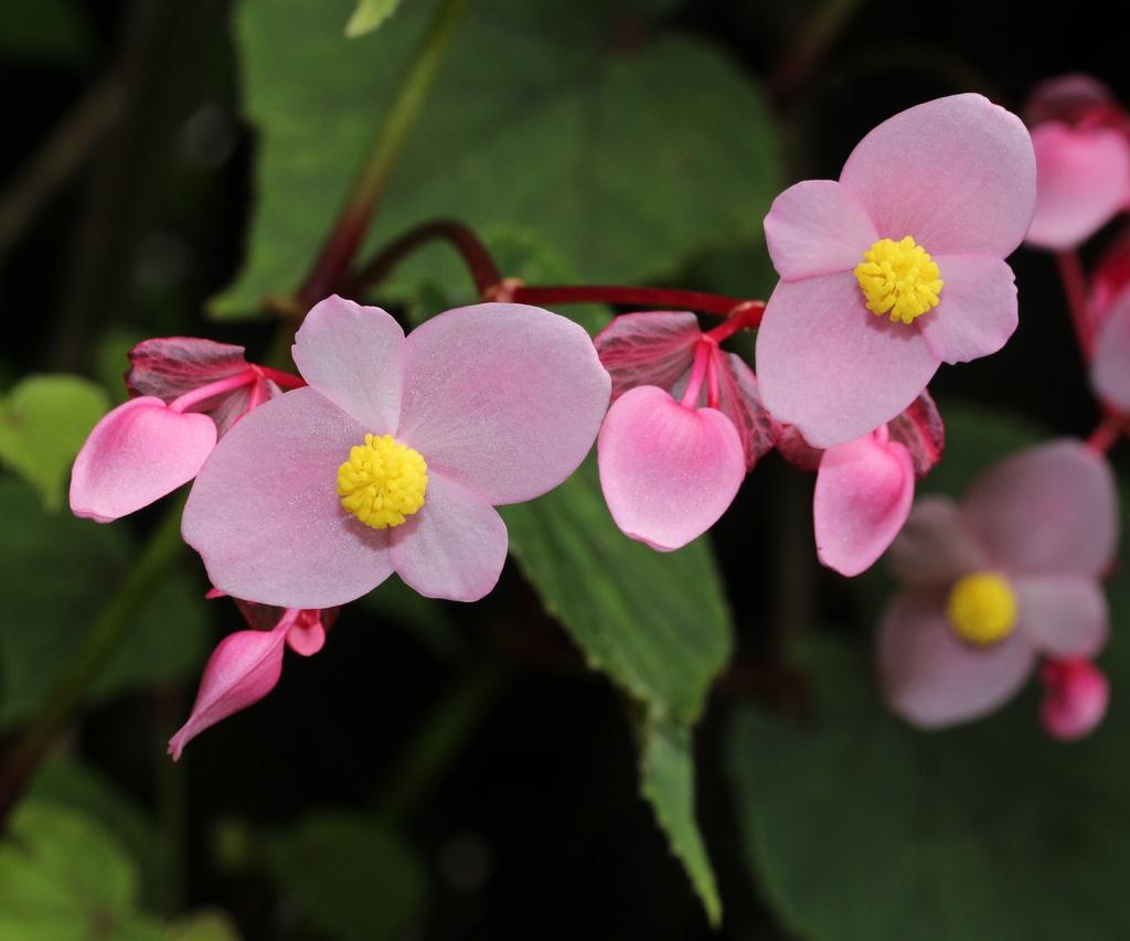 Begonia grandis flower