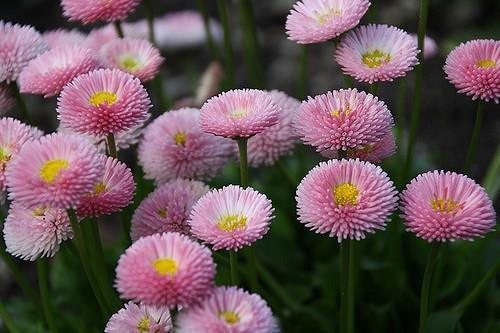 Bellis perennis pink flower