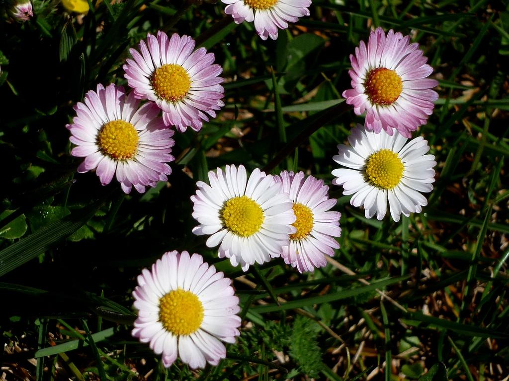 Bellis perennis flowers