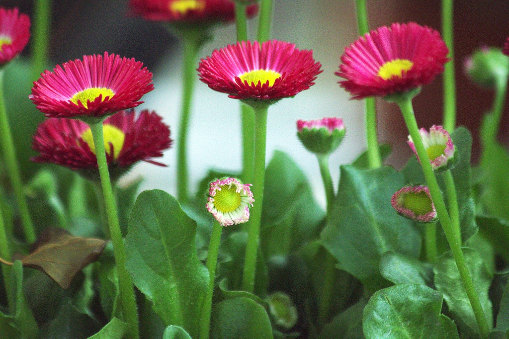 Bellis perennis flowers, stems, and leaves