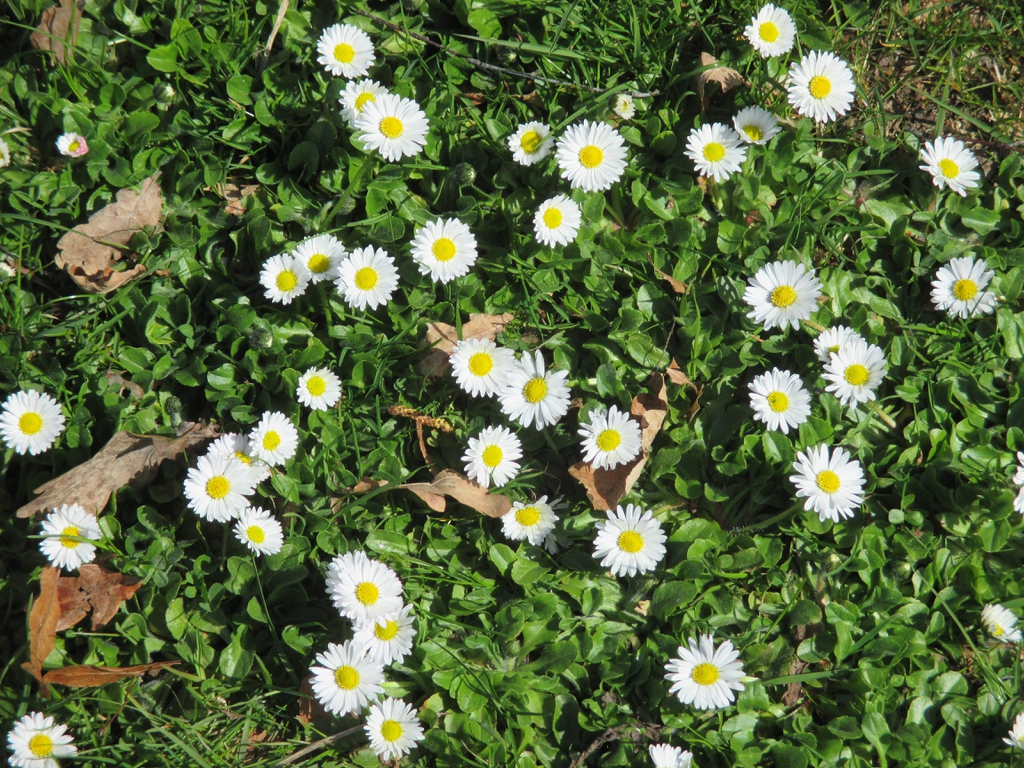 Bellis perennis flowers and leaves