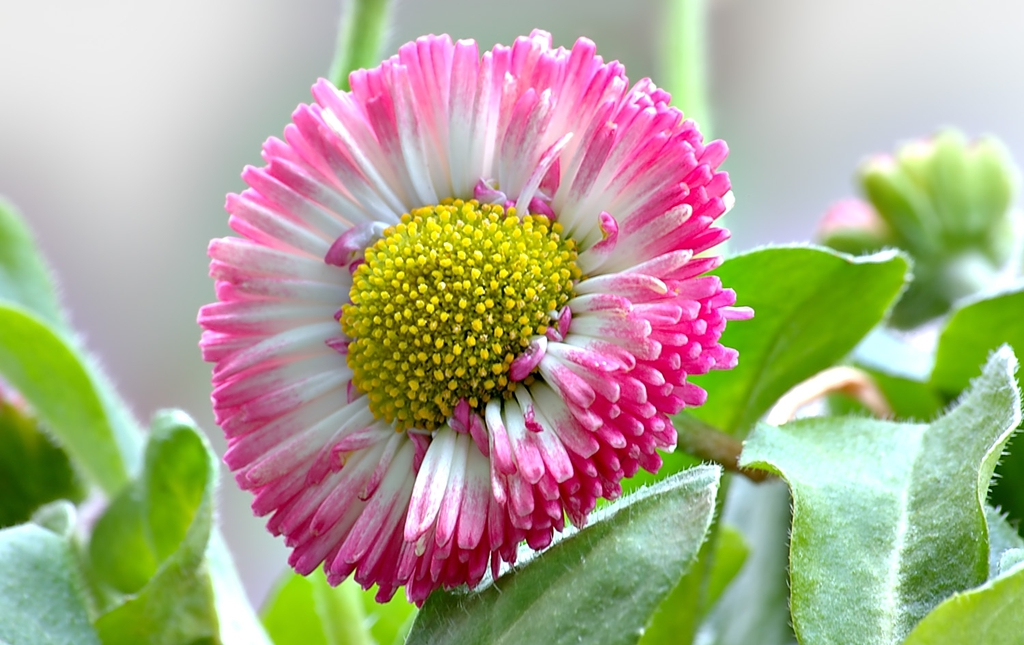 Bellis perennis flower and leaves