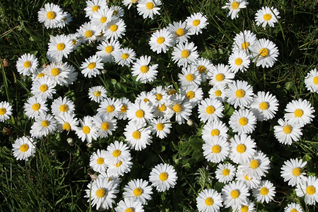 Mass planting of Bellis perennis