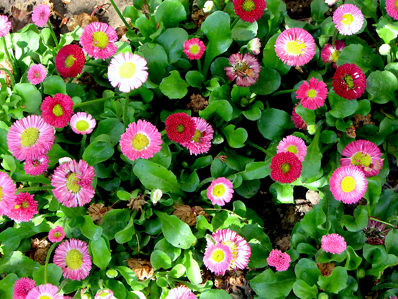 Bellis perennis pink and red flowers and leaves