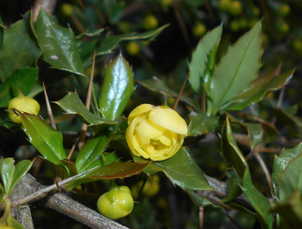 Berberis candidula flower and leaves