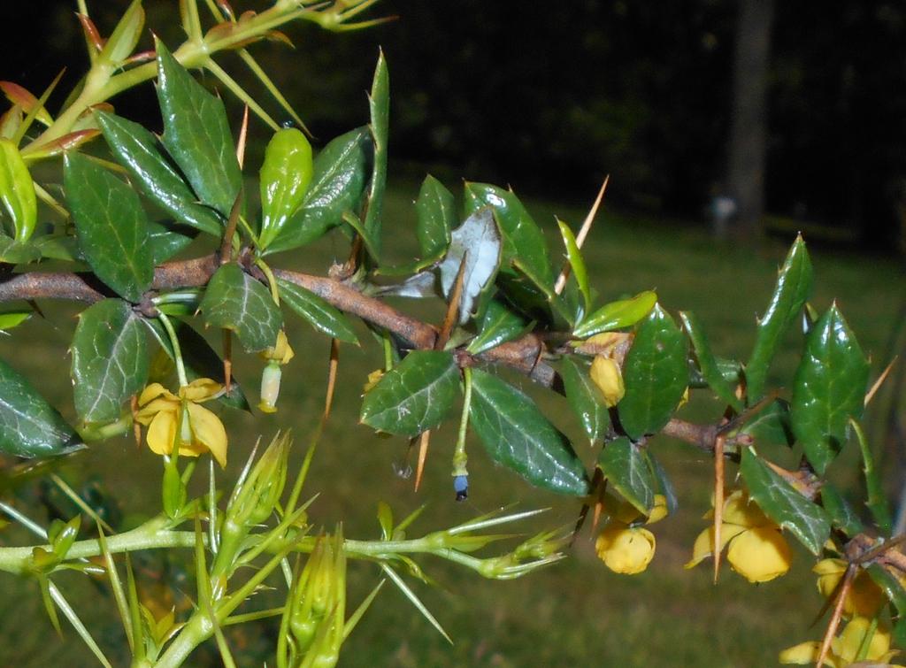 Berberis candidula bark and leaves