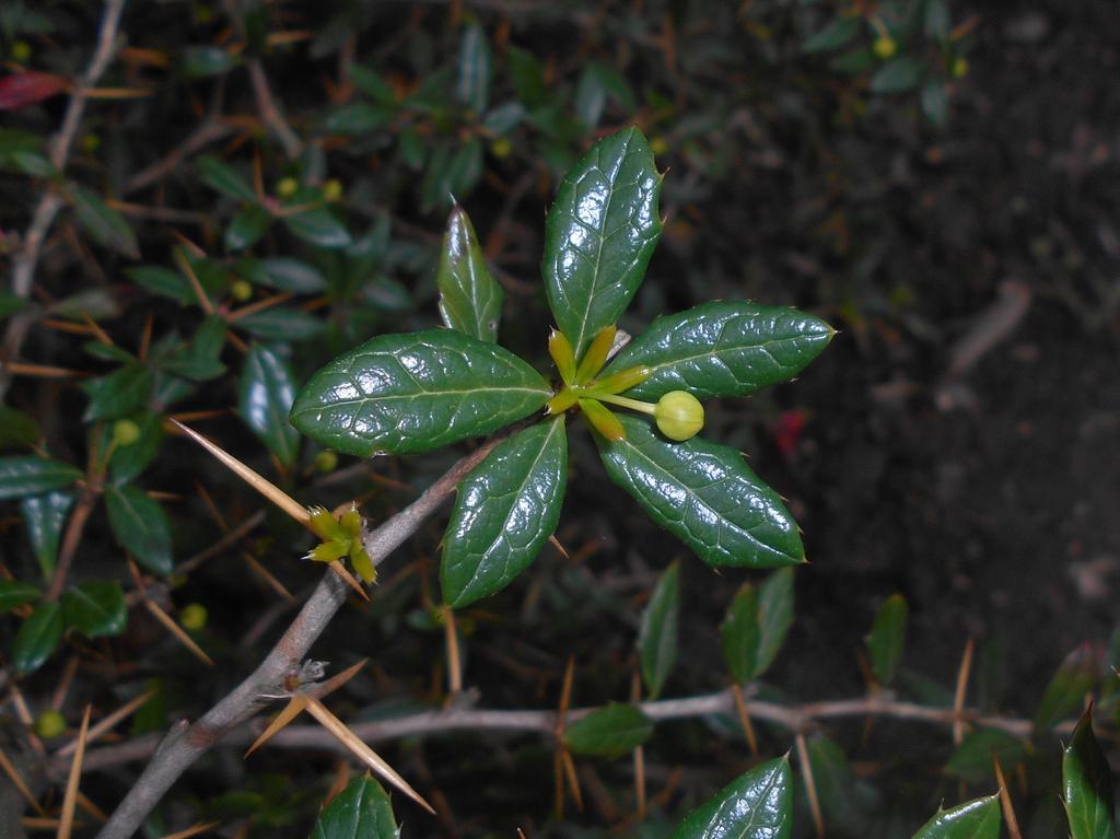 Berberis candidula leaves and bark
