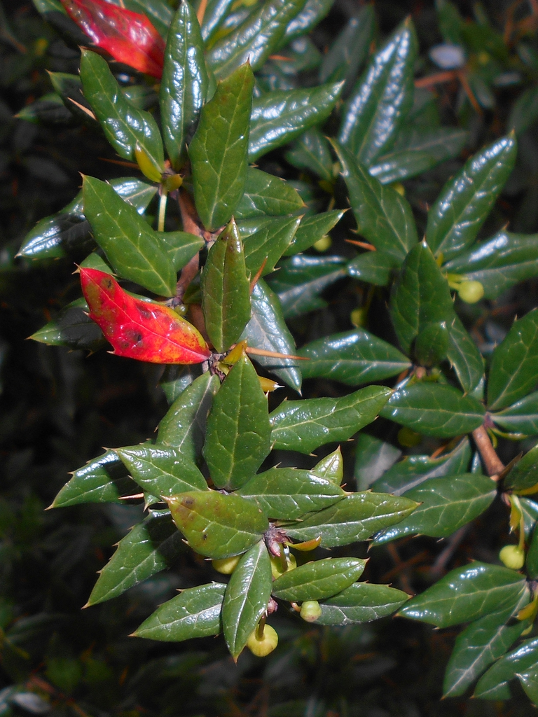 Berberis candidula leaves